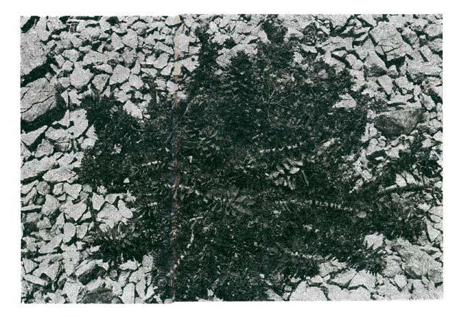 Jedina biljka koja (ponegdje) izraste na kamenjaru Slane. Vrlo je žestoka, gotovo otrovna, a ribari je kuhaju da bi u njenom soku natopili konope na mreži potegači, da riba ne bi skakala preko konopa i bježala iz mreže. Biljka je slična kaktusu. Foto: Dr Henri Bernard, Colmar, Francuska