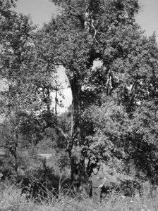 Drvo koje pamti stoljeća
